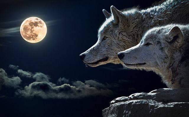 coppia di lupi con luna