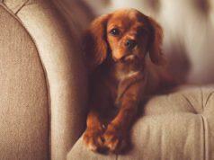 razze cani solitari che possono stare soli in appartamento
