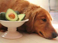 avocado al cane