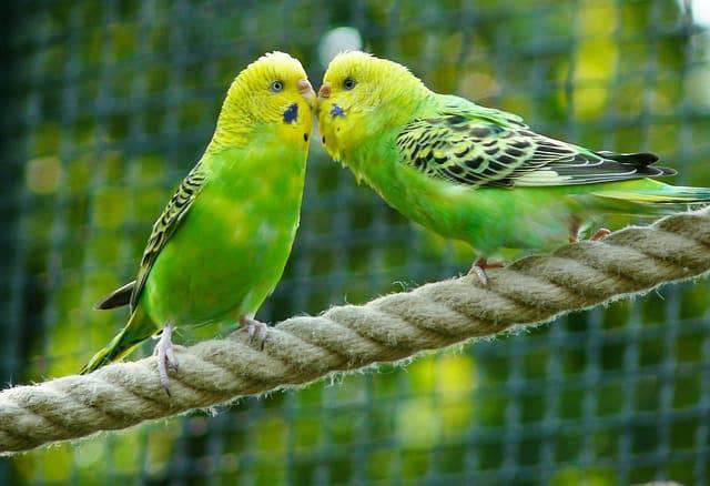pappagalli estate