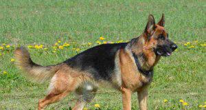 cane non gioca pastore tedesco
