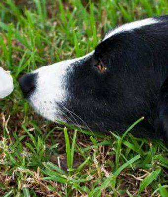 funghi velenosi cane
