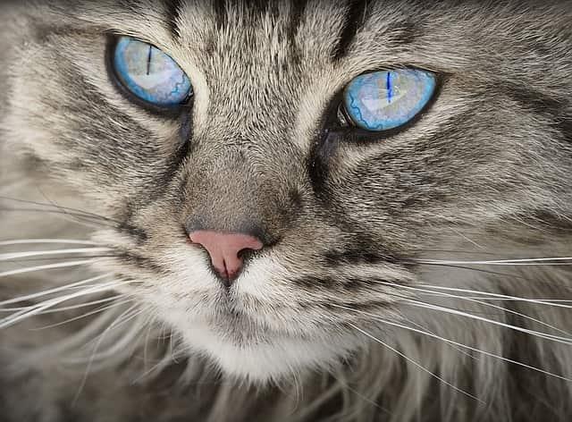 gatto occhio gonfio