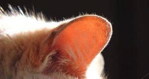 orecchio gatto