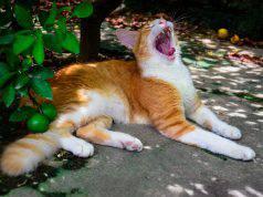 stomatite gatto