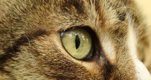 occhio gonfio gatto