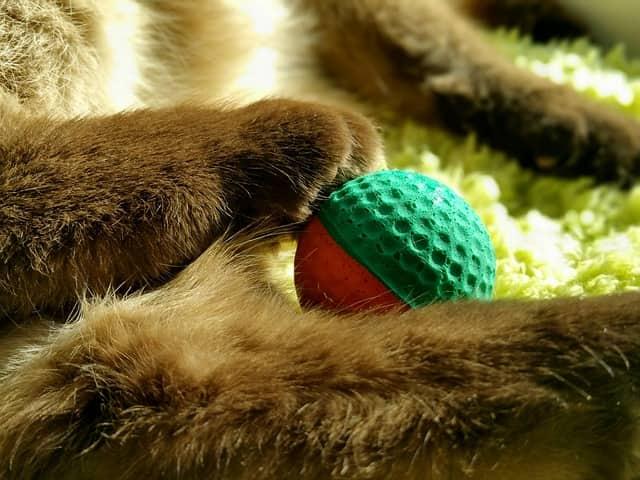 gatto riporta la pallina