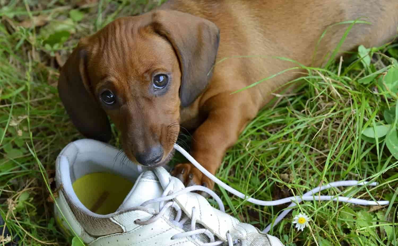 cane mangia scarpe