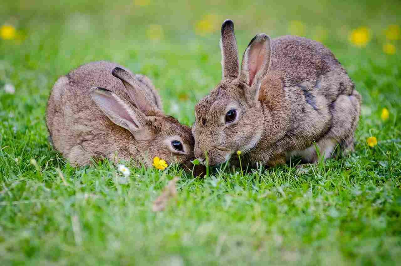 Linguaggio del coniglio
