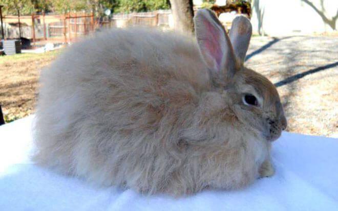 cura pelo coniglio angora