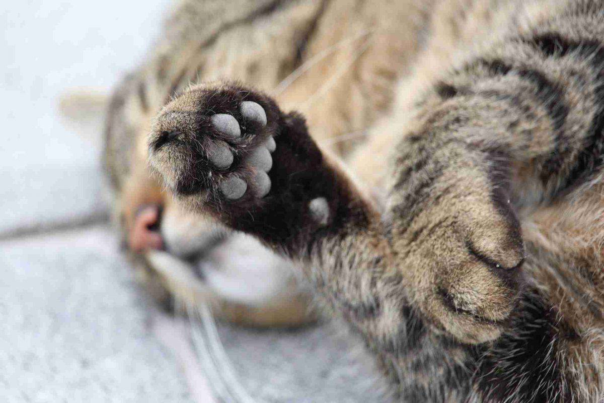 gatto tagliare unghie
