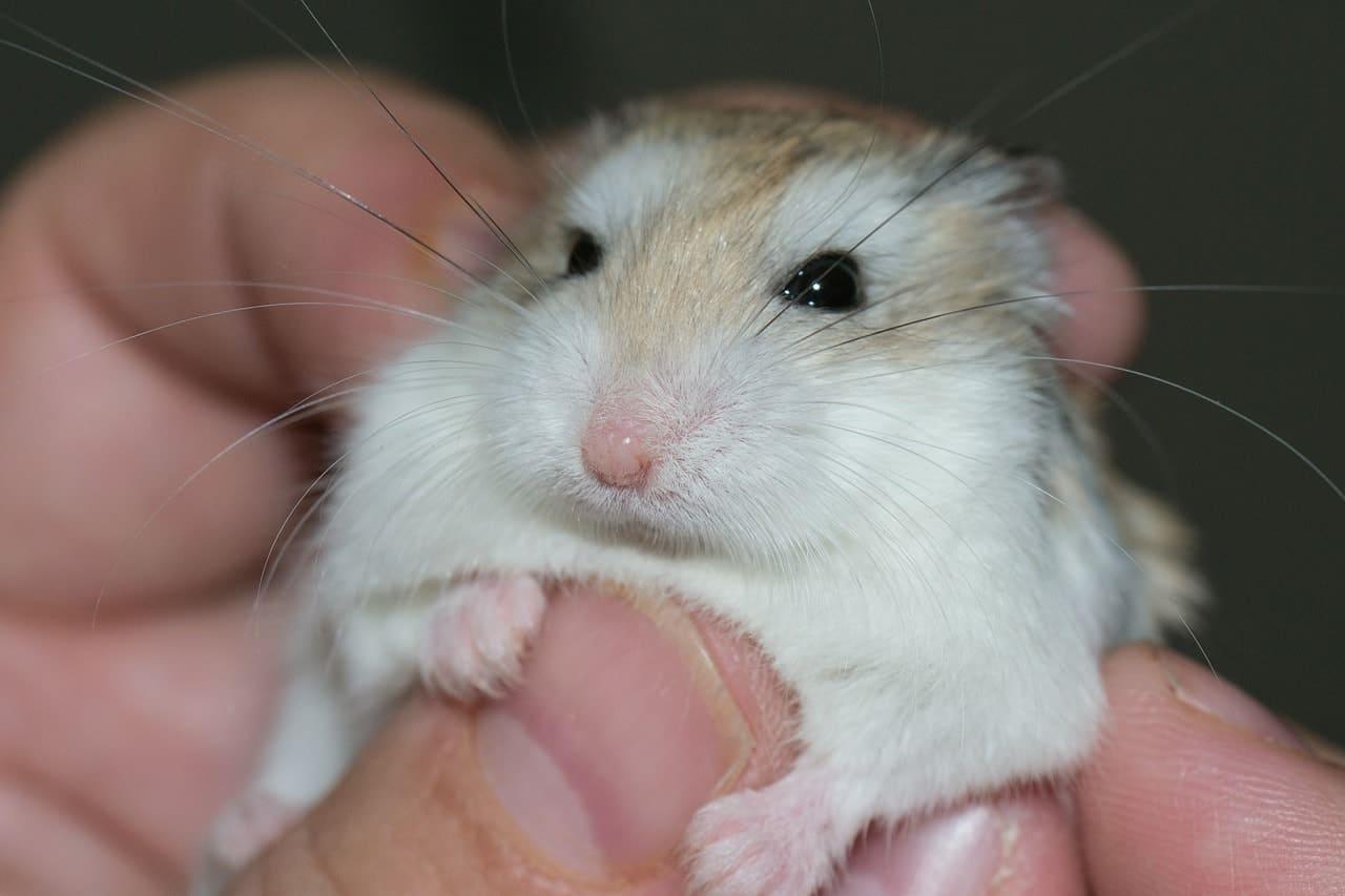 Criceto bianco e marrone mano
