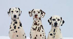 cani bianchi e neri