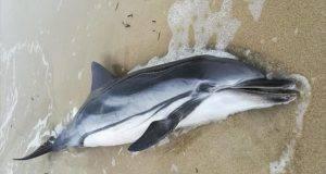 delfini morti toscana