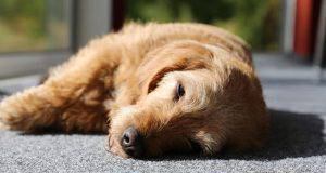 narcolessia cane