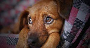 Diabete nel cane