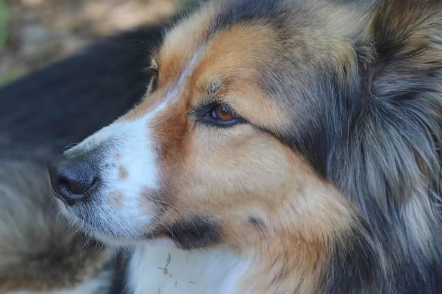 cane occhi colori