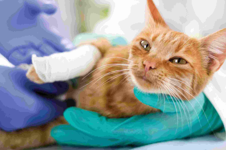 Problemi spina dorsale del gatto