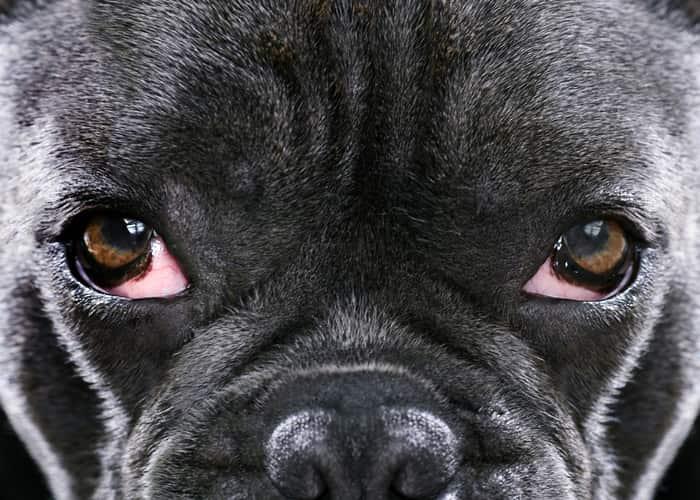 terza palpebra cane