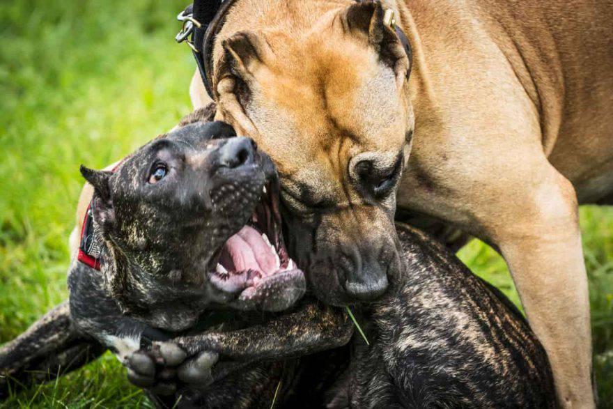 cane morso da un altro cane