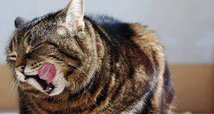 inappetenza nel gatto