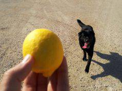 limone cane