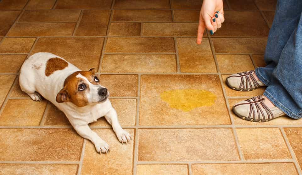 sangue nelle urine del cane