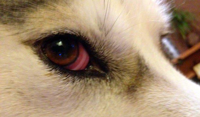 congiuntivite cane occhi rossi