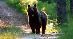 orso trentino