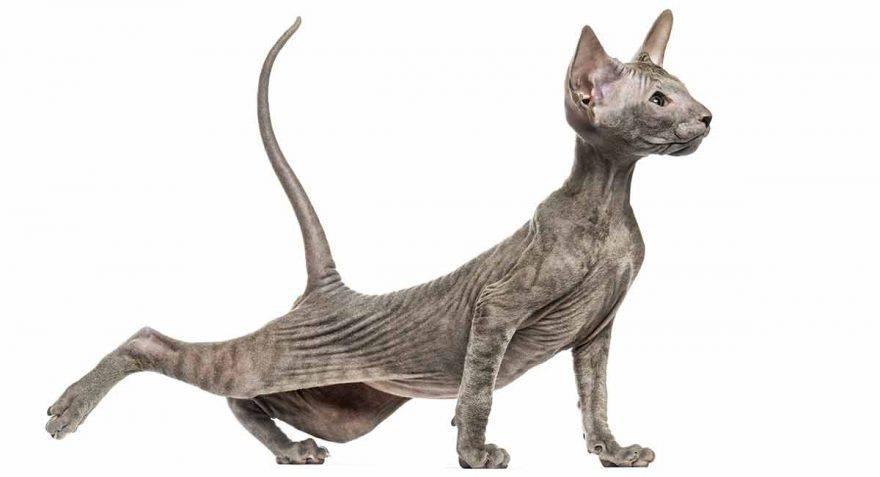 peterbald gatto