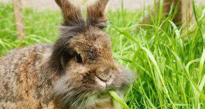 coniglio angora