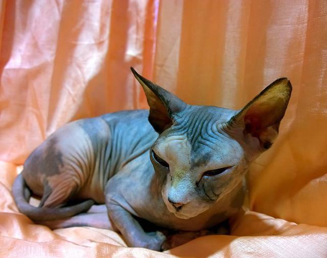 cura gatti senza peli