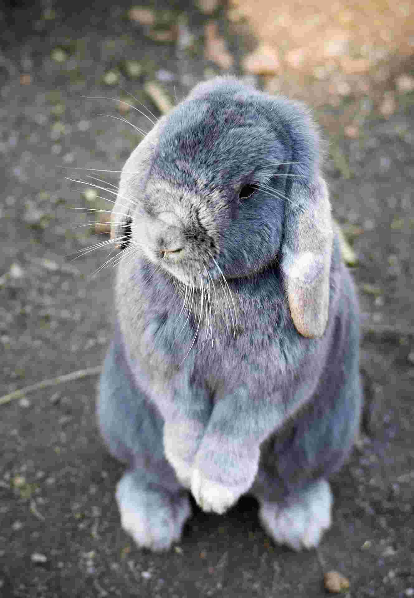 Linguaggio coniglio
