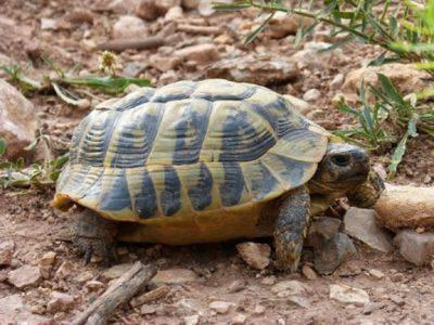 Tartaruga calcolo età