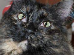 terza palpebra gatto