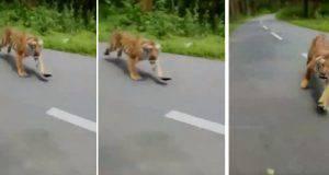 tigre aggressione