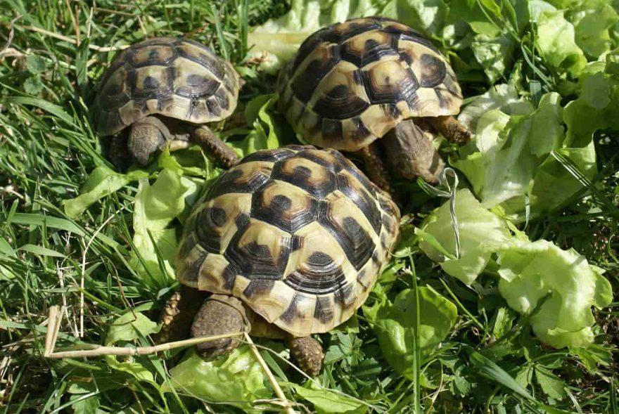 tartaruga maschio femmina