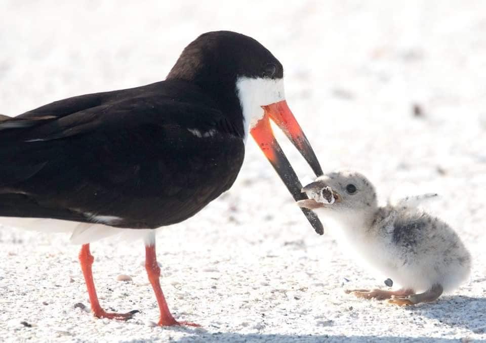 uccello marino mozzicone