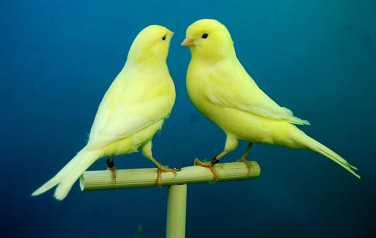 differenze comportamento canarini