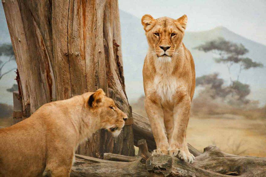 grandi felini leonesse