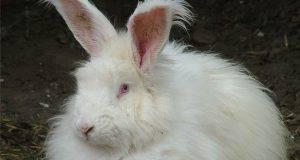 allevare coniglio angora