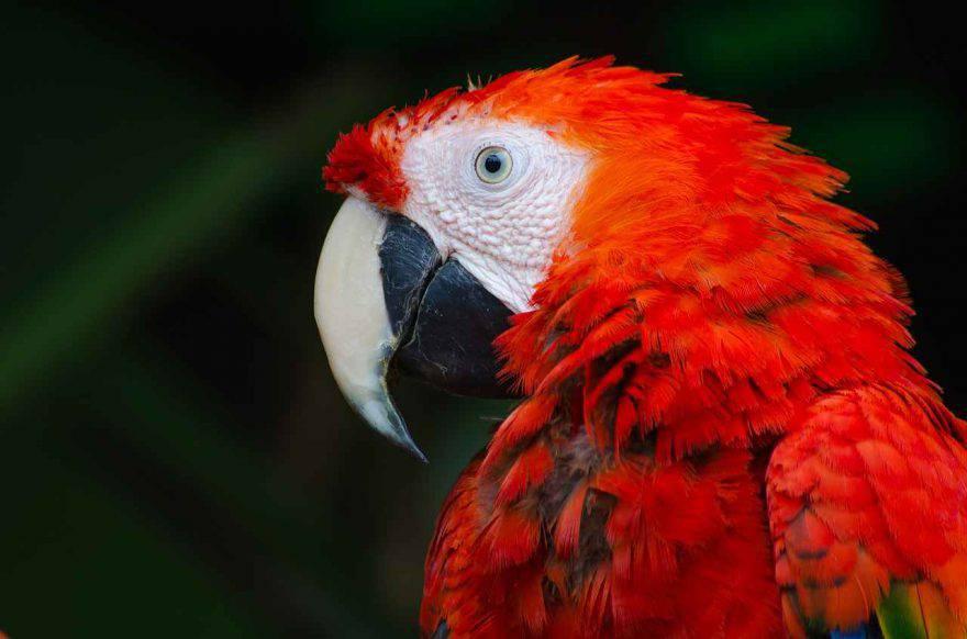 Sesso del pappagallo