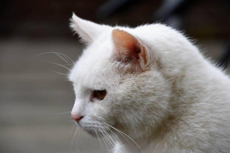 gatti dal pelo bianco