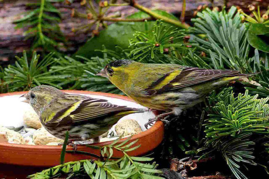 Riproduzione dei canarini