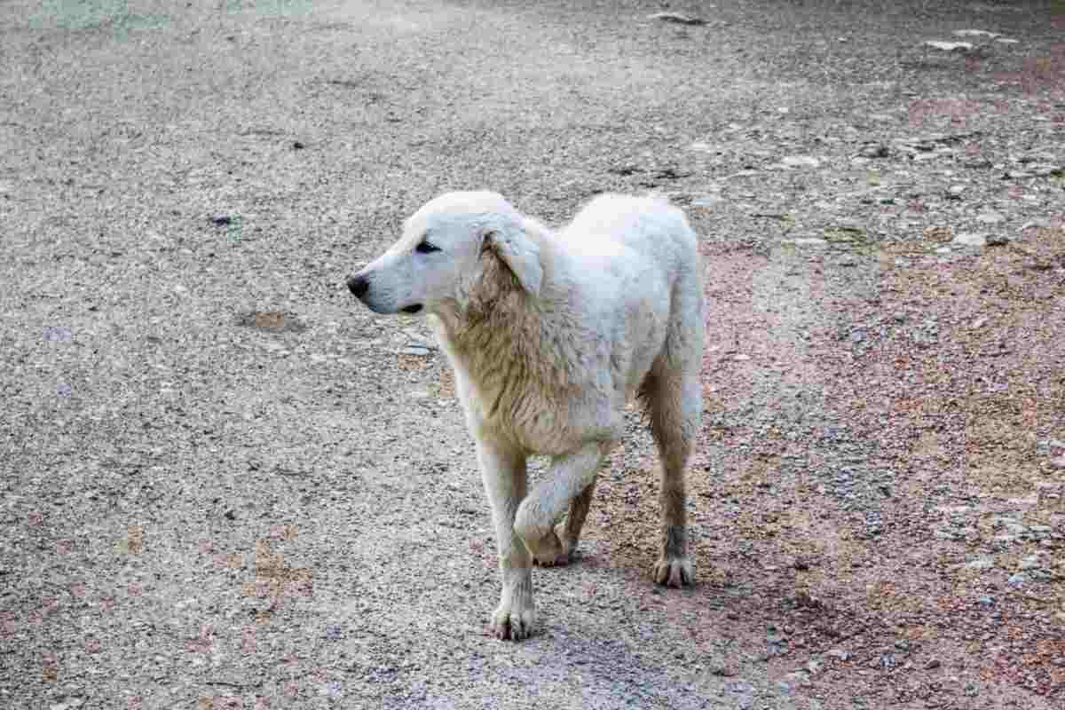 il cane zoppica: cause e soluzioni (foto iStock)