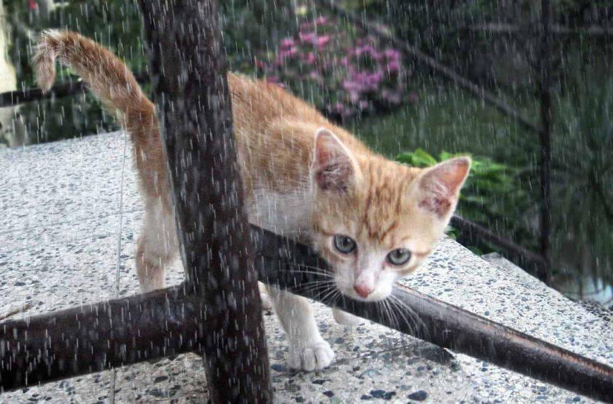 comportamento gatto quando piove