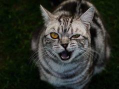 gatto adulto denti
