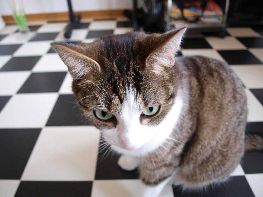 gatto candeggina