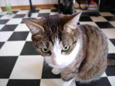 Feromoni per gatti