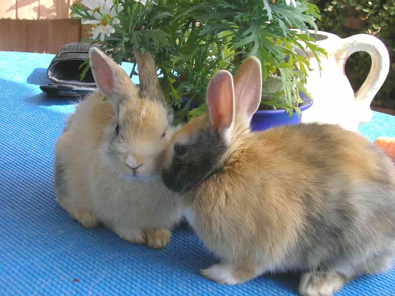sesso conigli
